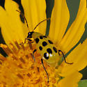 Unknown Yellow 'Bug' - Diabrotica undecimpunctata