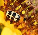 Skeletonizing Leaf Beetle - Paranapiacaba tricincta