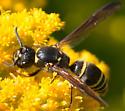 Apoid Wasp? No it's Vespidae. - Ancistrocerus antilope - female
