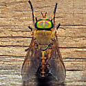 Unknown Horse Fly