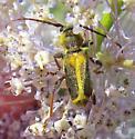 Triodoclytus lanifer? - Triodoclytus lanifer