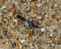 Fly on Beach - Stichopogon trifasciatus