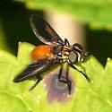 Feather-legged Fly - Trichopoda pennipes