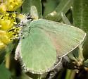 4320 Female Western Green Hairstreak (?) - Callophrys affinis - female