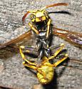Some kind of paper wasp? - Mischocyttarus flavitarsis