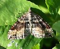 Moth in clover - Xanthorhoe defensaria