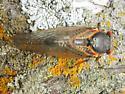 Magicicada cassini - Magicicada cassinii