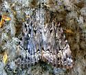 Pennsylvania Moth - Amphipyra pyramidoides