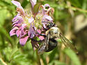 large bee sp. - Xylocopa virginica