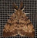 male gypsy moth - Lymantria dispar - male