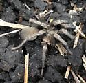 Tarantula or Calisoga - Calisoga