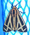 unknown AR moth #13 - Apantesis phalerata