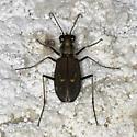 A darker morph from Owens Lake - Cicindelidia haemorrhagica