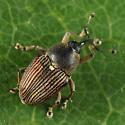 weevil - Odontocorynus umbellae