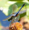 odonata - Pachydiplax longipennis