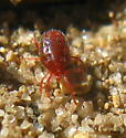 oval red Mite with dark-red abdomen covered with uniform sparse whitish cetae - Balaustium