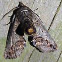 Large Paectes - Hodges#8962 - Paectes abrostoloides