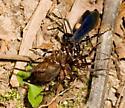 Spider wasp dragging prey - Anoplius - female
