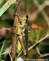 Melanoplus femurrubrum  - Melanoplus femurrubrum - female