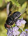 Mexican Flower Fly  - Copestylum