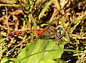 Blue-faced meadowhawk dragonfly - Sympetrum ambiguum