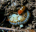 Centipede brooding young - Scolopocryptops