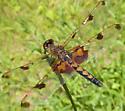 Dragonfly, orange/brown and black - Celithemis elisa - female