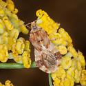 Ambush Bug - Phymata? - Phymata luteomarginata