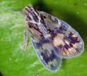 Bothriocera cognita