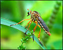 Need exact species of Robberfly - Diogmites properans