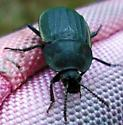 Mystery Beetle  - Silpha tristis