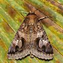 8605 - Melipotis contorta