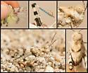 McNeill's White Grasshopper - Trimerotropis albescens - male