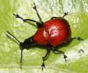 Snout beetle - Homoeolabus analis