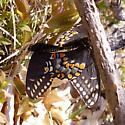 Eastern Black Swallowtail - Papilio polyxenes - male - female