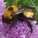 Bumble Bee - Bombus nevadensis