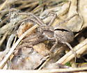 Female - Thanatus formicinus - female
