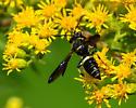 Square-headed Bee - Cerceris fumipennis
