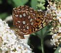 Checkerspot Butterfly 69A - Speyeria aphrodite - male