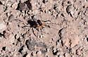 large spider-like creature at Lake Havasu - Eurybunus