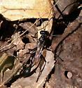 Thread Waisted Wasp? - Eremnophila aureonotata