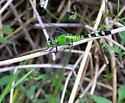 Erythemis simplicicollis (Eastern Pondhawk) - Erythemis simplicicollis - female