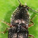 Thorax - Limonius basilaris - female