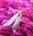 Small white bug/ Mayfly or Aphid? - Acentria ephemerella