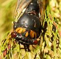 Swamp cicada - Tibicen tibicen