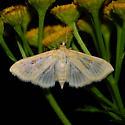 Unknown moth - Herpetogramma abdominalis - female