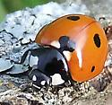 Seven Spotted Lady Beetle -- Coccinella septempunctata - Coccinella septempunctata
