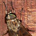 Deer Fly? - Tabanus sulcifrons - female