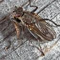 Fly - Ceratinostoma ostiorum