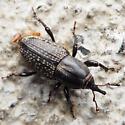 Black Snout Beetle (with a few mites) - Sphenophorus cicatristriatus